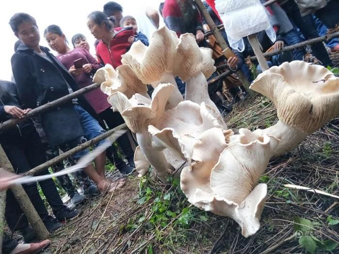 Пожилой китаец нашел короля всех грибов