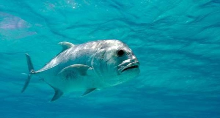 Giant Trevally - a fish that hunts birds (video)