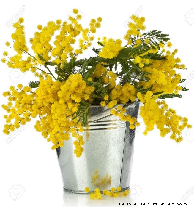 18932170-bouquet-mimosa-acacia-flowers-in-a-bucket-of-zinc-isolated-on-white-background-Stock-Photo (653x700, 242Kb)