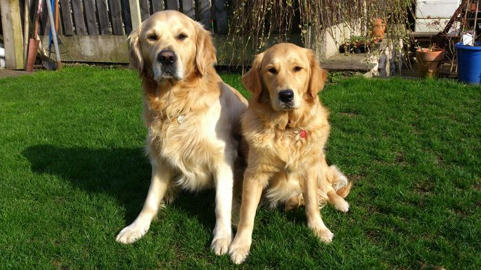 3731274_goldenretrieverpuppies51fc05557a761 (700x393, 78Kb)