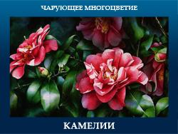 5107871_KAMELII (250x188, 87Kb)