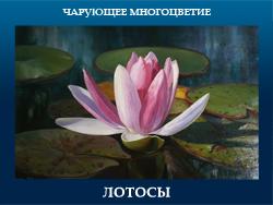 5107871_LOTOSI (250x188, 76Kb)