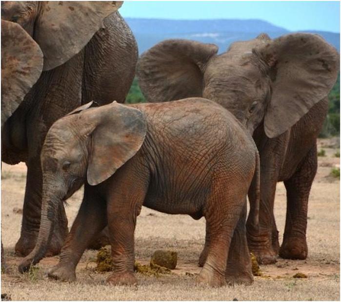 Вопросы эволюции: от живых ископаемых до слона без бивней