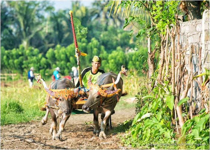 Гонки на буйволах на Бали