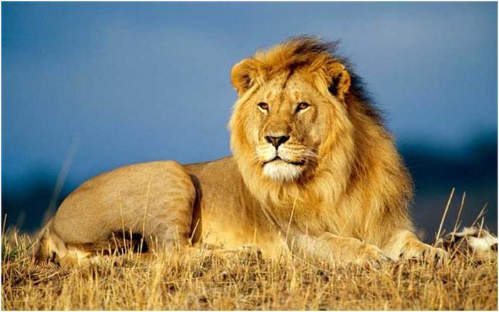 Интересные факты о львах