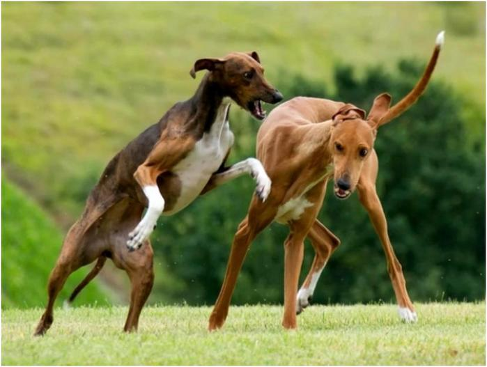 10 самых дорогих и очаровательных пород собак в мире