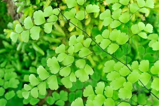 Горшечные растения, которые очищают воздух от опасных загрязняющих веществ (2) (518x345, 230Kb)