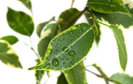 Горшечные растения, которые очищают воздух от опасных загрязняющих веществ (4) (516x328, 136Kb)