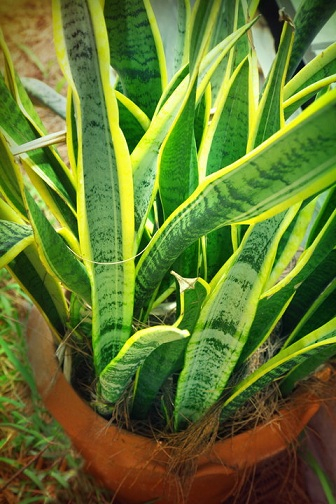 Горшечные растения, которые очищают воздух от опасных загрязняющих веществ (6) (336x504, 235Kb)