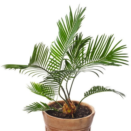 Горшечные растения, которые очищают воздух от опасных загрязняющих веществ (8) (504x504, 194Kb)