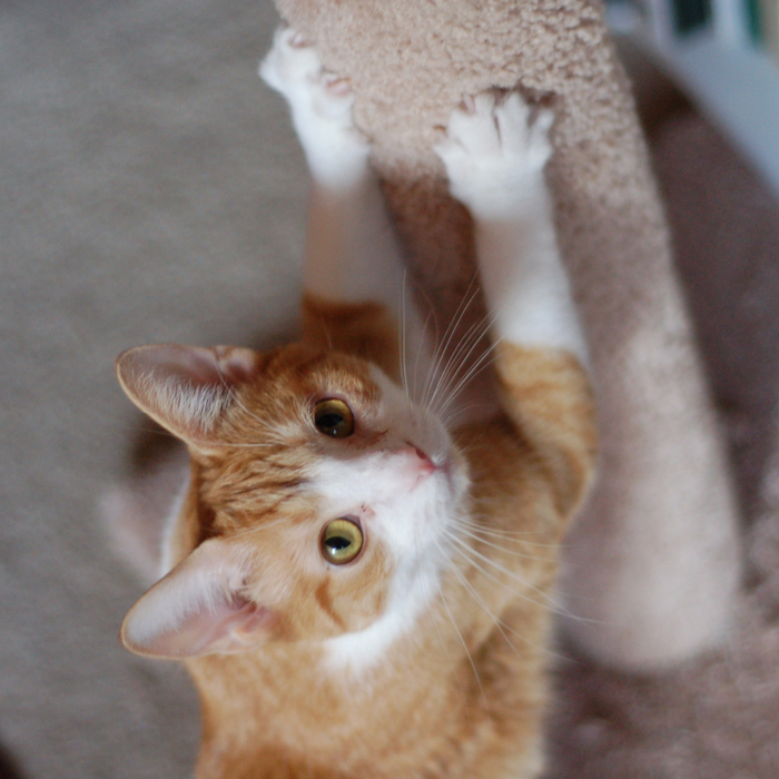 file_1030_cat-at-scratching-post (700x700, 546Kb)