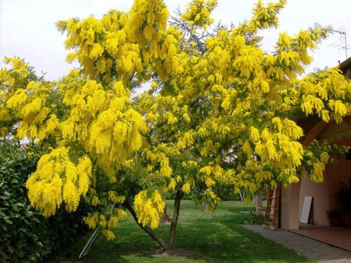 Растение, которое мы называем мимомозой, на самом деле не мимоза!