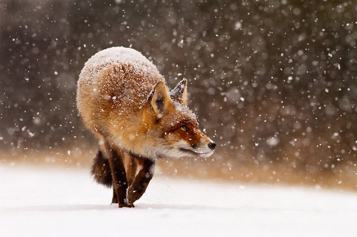 red_fox_snow_2 (700x465, 295Kb)