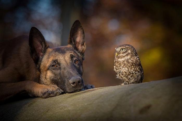 20-Прекрасное фото двух друзей - совы и собаки (700x465, 74Kb)