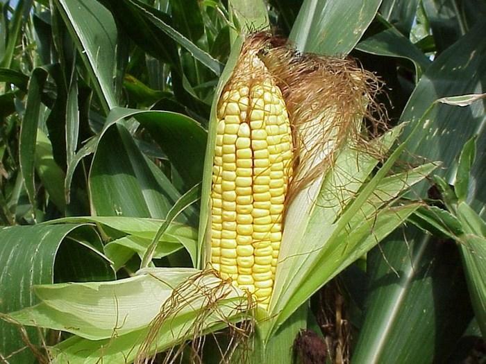 maiz (700x525, 122Kb)