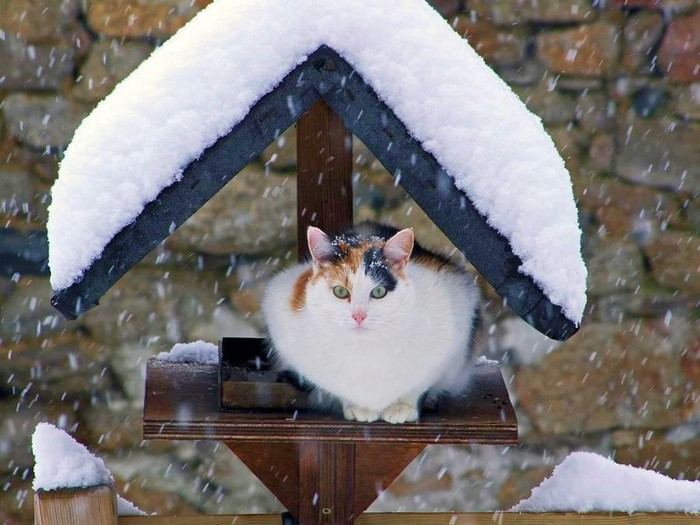 cat_in_winter_picture_beautiful_animals-bmER (700x525, 92Kb)