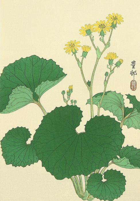Liqularia (Muller Collection) (488x700, 363Kb)