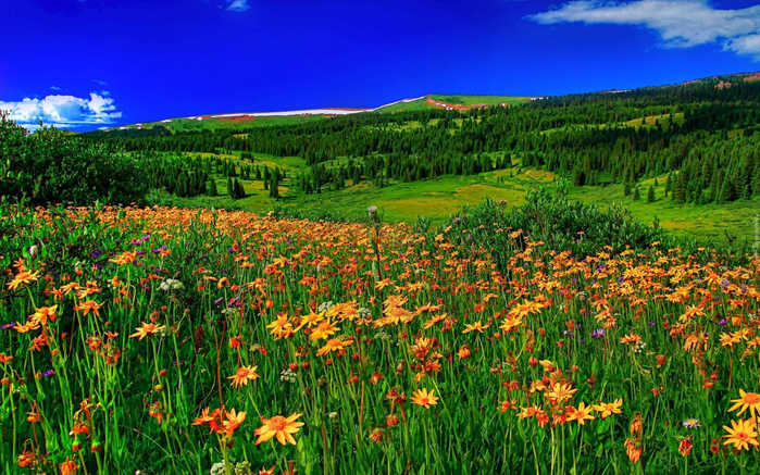 Spring-Mountain-Flowers-meadow-with-green-grass-forest-with-pine-trees-clear-sky-Hd-Wallpaper-High-Definition-2560x1600-1440x900 (700x437, 525Kb)