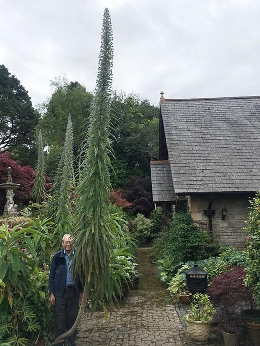 Эхиум— удивительный сорняк