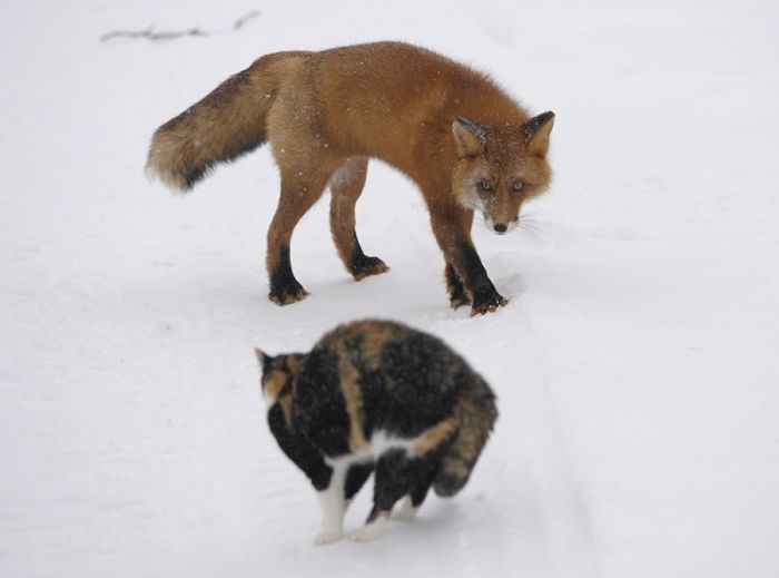 1269839665_placepic.ru_cat_foxes_01 (700x519, 41Kb)