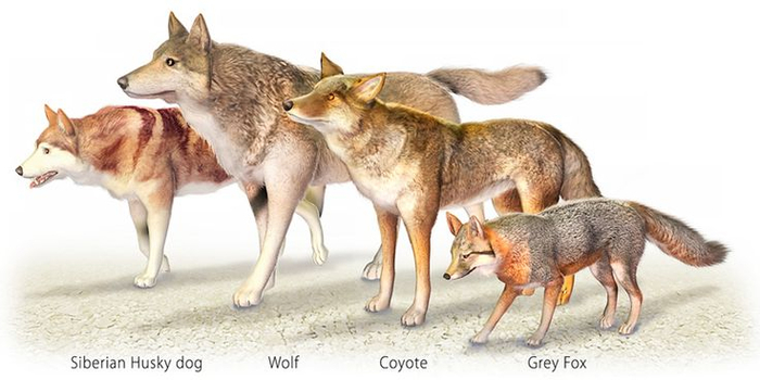 wolf-facts-size-comparison (700x350, 196Kb)