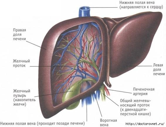 Здоровое и лечебное питание при заболеваниях печени