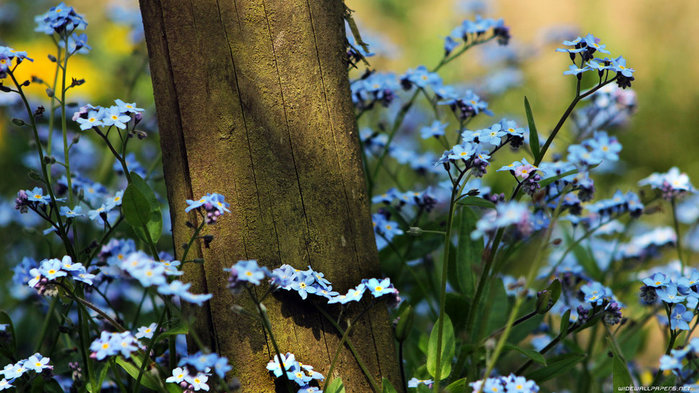 3577132_687230__forgetmenot_p (700x393, 106Kb)