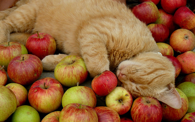 apple-cat (650x406, 300Kb)