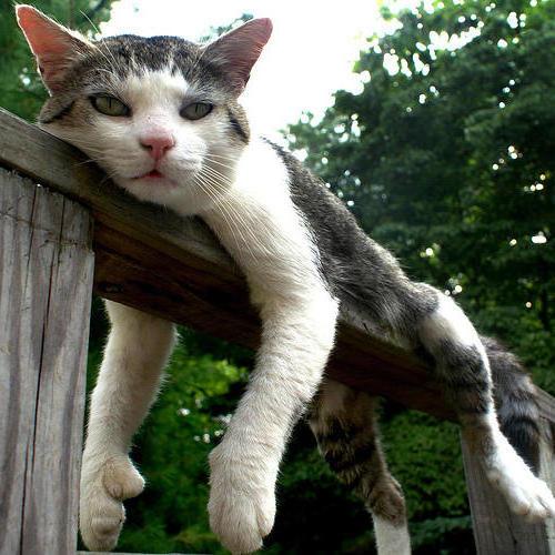 Кот на заборе-1 (500x500, 58Kb)
