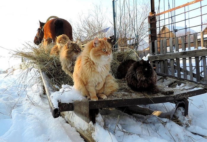 Siberian_Cats_photo_Alla_Lebedeva141 (700x480, 156Kb)