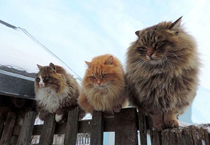 Siberian-Cats-49 (700x482, 49Kb)