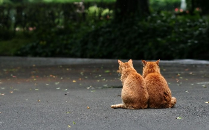 Animals_Cats_Red_brothers_028464_ (700x437, 67Kb)