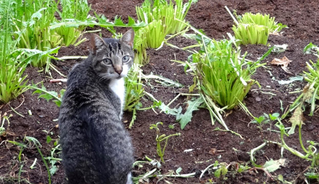 cat-in-garden_800 (624x360, 108Kb)