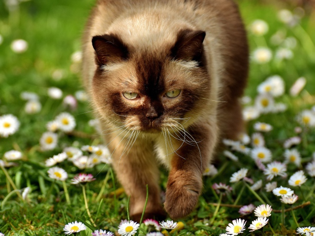 2017Animals___Cats_A_large_Siamese_cat_walks_through_white_flowers_to_daisies_118641_29 (640x480, 146Kb)