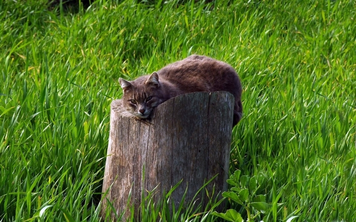 cat-tree-stump-grass-lie-1063771 (700x437, 300Kb)