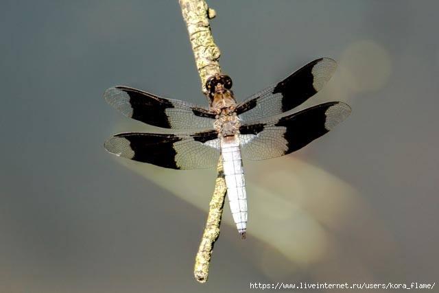 dragonfly (640x427, 67Kb)