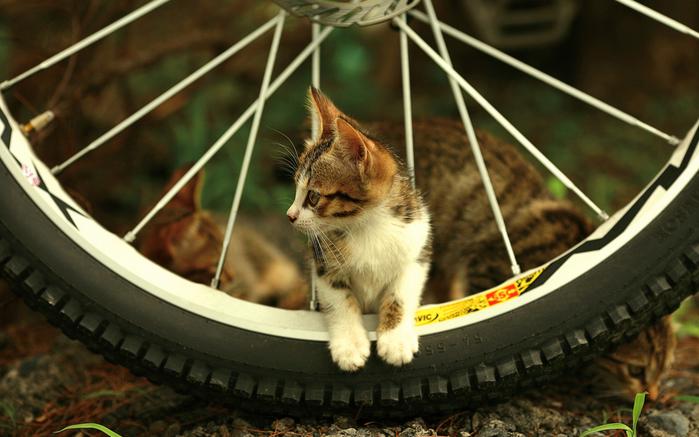 velosiped-koleso-spitsi-kotenok (700x437, 320Kb)