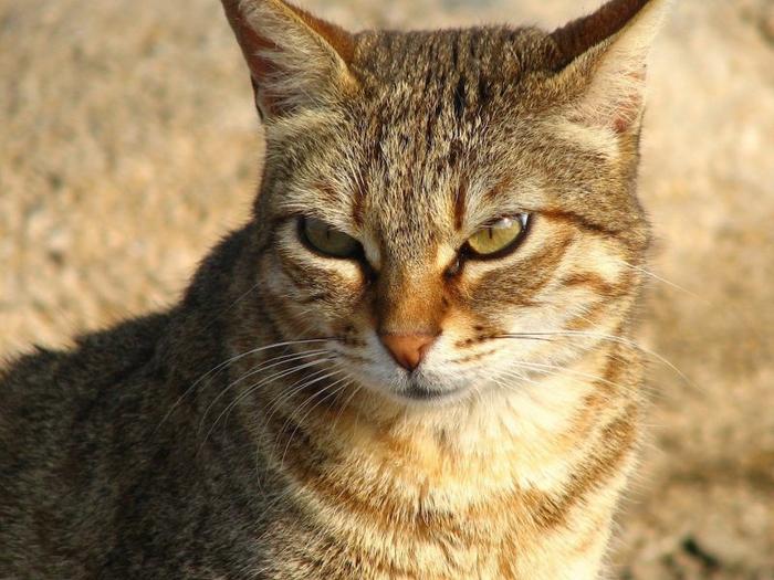cat_face_color_striped_51713_1920x1080-800x600 (700x525, 386Kb)