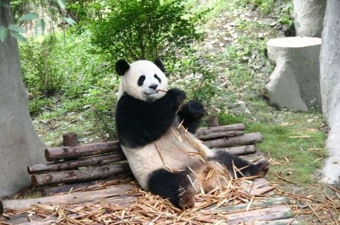 est-li-panda-bambuk-a-mozhet-byt-ona-est-chto-to-krome-bambuka-sweetpanda.ru-007-800x531 (700x464, 84Kb)