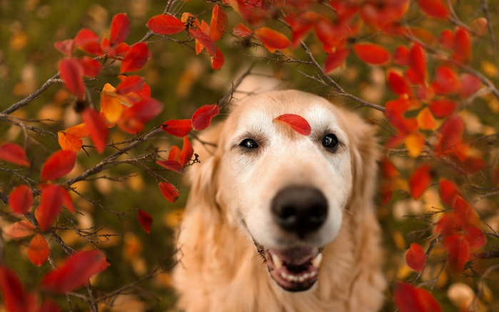 dog_look_red_leaves-960x600 (700x437, 312Kb)