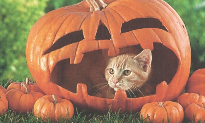 Pumpkin-Cat-800x480 (700x420, 167Kb)
