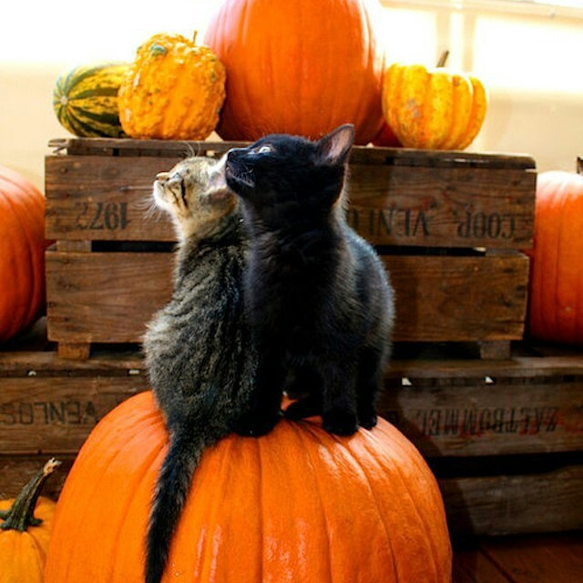 cats-cute-fall-halloween-Favim.com-2219124 (640x640, 89Kb)