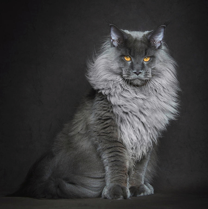 maine-coon-2 (699x700, 339Kb)