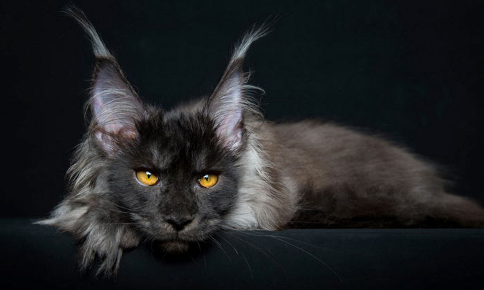 maine-coon-8 (700x420, 175Kb)