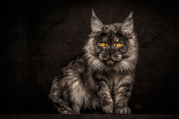 maine-coon-9 (700x466, 221Kb)