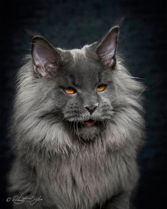 maine-coon-14 (559x700, 261Kb)