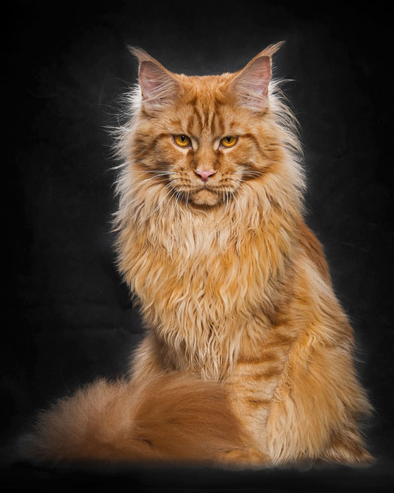 maine-coon-12 (560x700, 297Kb)