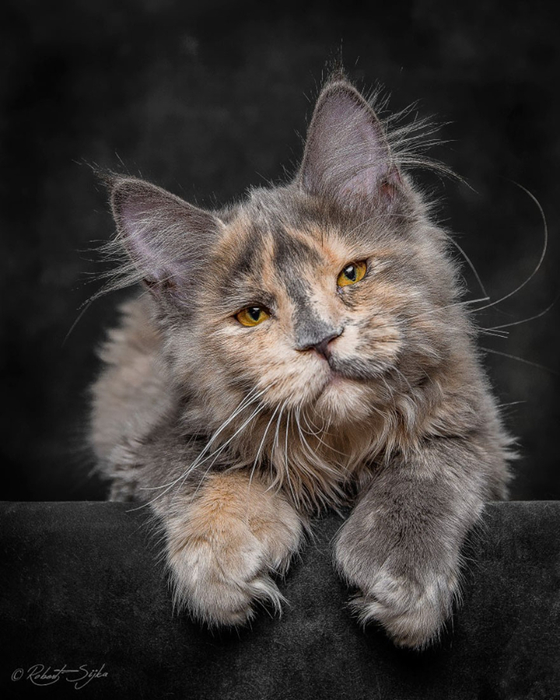 maine-coon-23 (560x700, 293Kb)