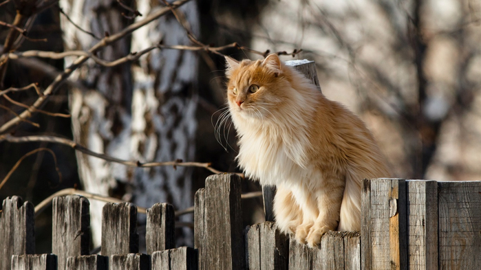 Cat-standing-on-fence-top_1366x768 (700x393, 289Kb)