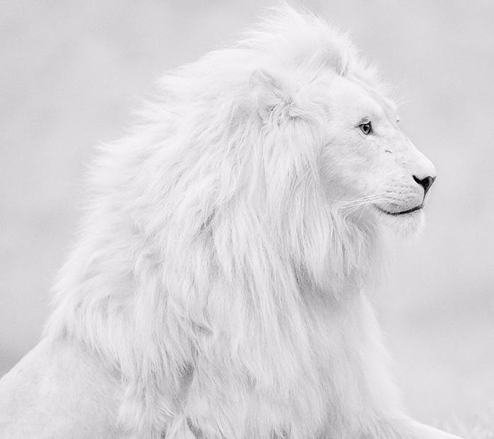 Белый лев - фото (700x621, 206Kb)